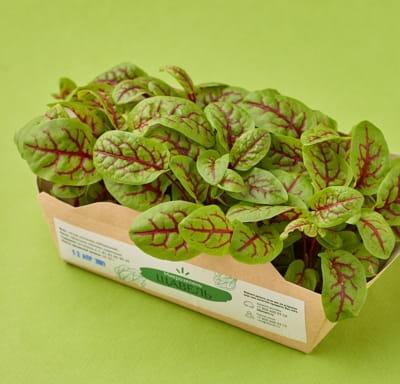 Микрозелень щавель